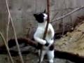 Gato interpreta dança do varão