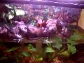Bombina orientalis - Aquaterrário